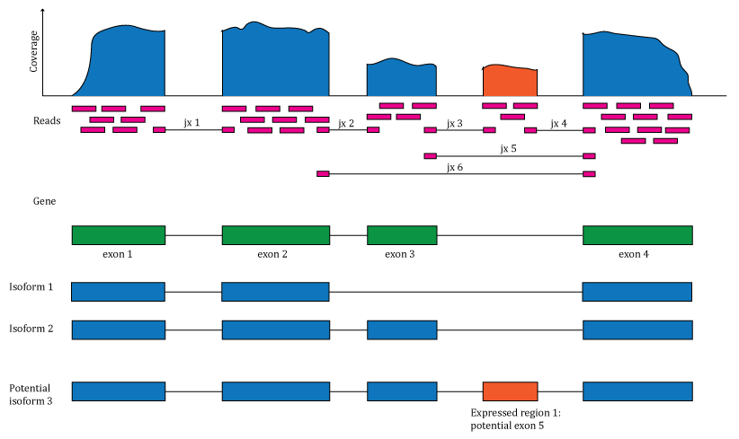 Overview of the data available in recount2. Reads aligned to the reference genome can be used to compute a base pair coverage curve, identify exon-exon junctions and compute gene and exon count matrices. The reads spanning exon-exon junctions (jx) are used to compute a third count matrix that includes un-annotated junctions (jx 3 and 4). Annotation-agnostic expressed regions can be determined from the coverage data.